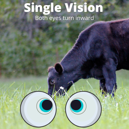image of one cow in focus with two eyeballs looking at the cow to demonstrate proper pupil alignment needed for the visual system to function in synch with the auditory system