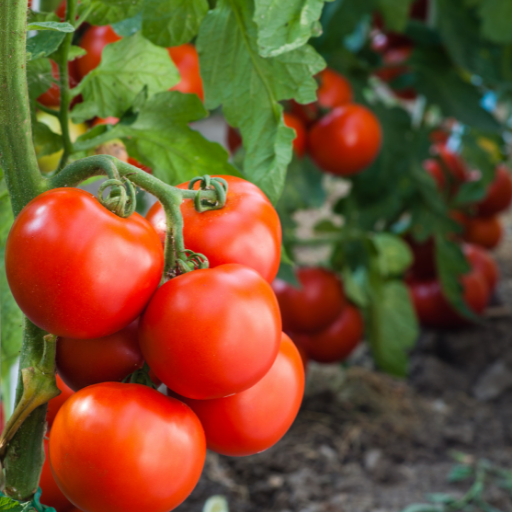 ripe tomatoes handing on the vine in a garden